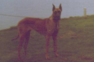Pauline; Deutsche Dogge, gelb